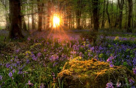 Bluebell Sunrise