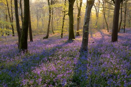 Dawn Light on Bluebells