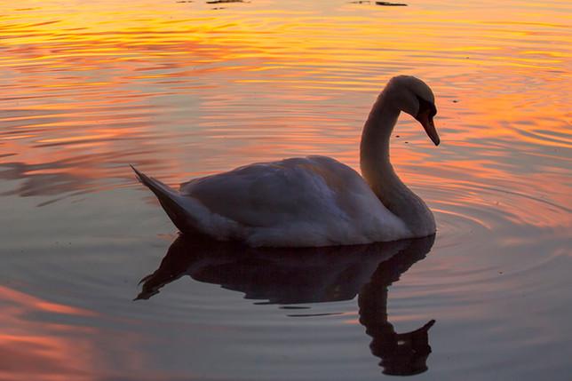Swan at Sunset