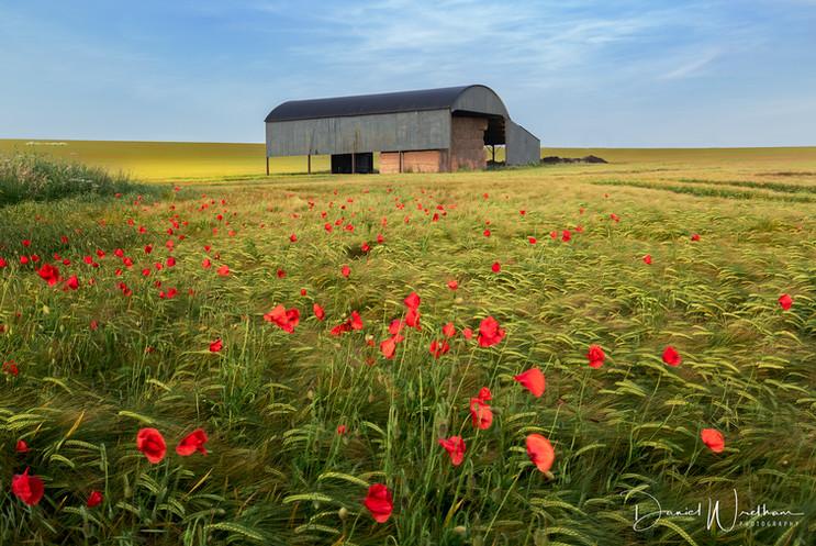 Dutch Barn Poppies