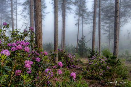 Rhododendrons & Fog