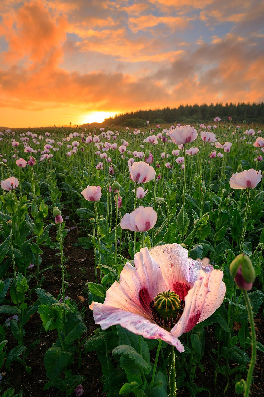 Dorset opium Poppies basking in the morning sunrise