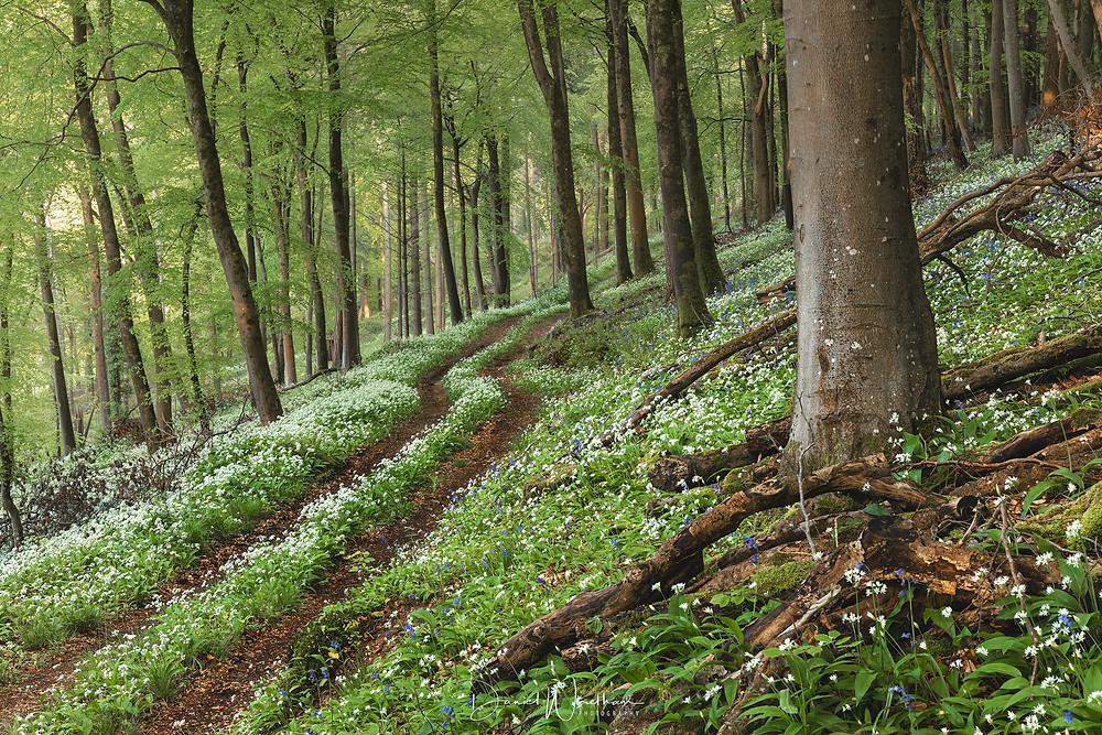 wild garlic locations