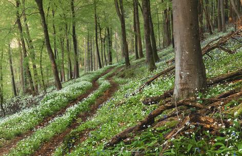The Wild Garlic Trail
