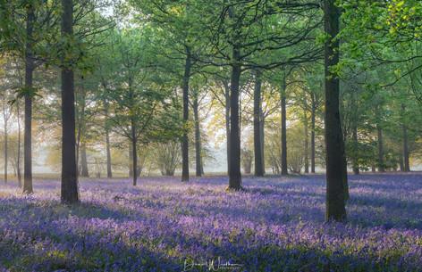 Bluebell Dawn