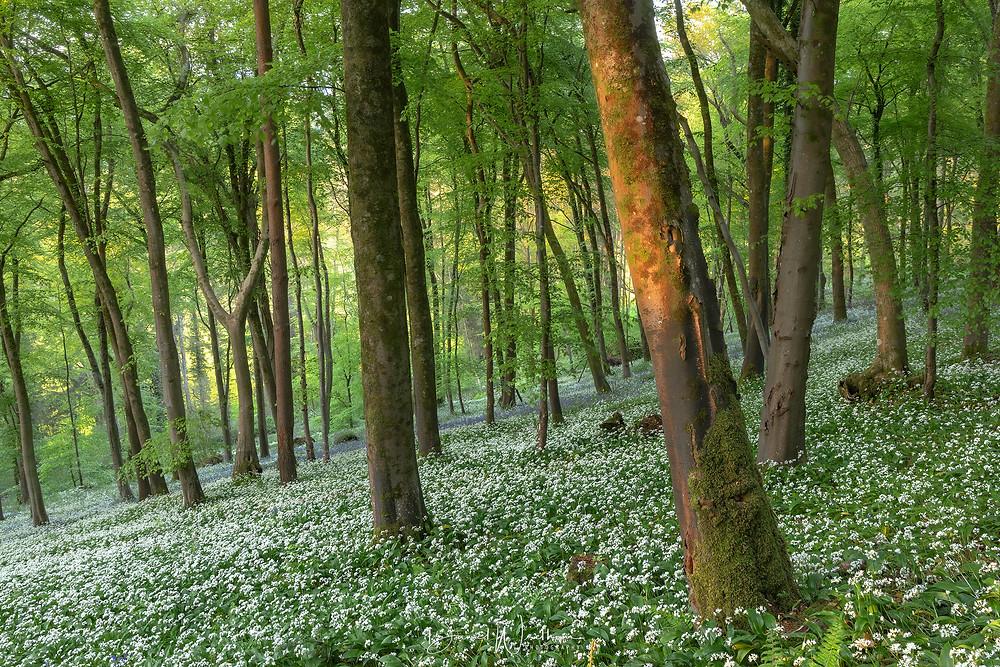 wild garlic forest dorset