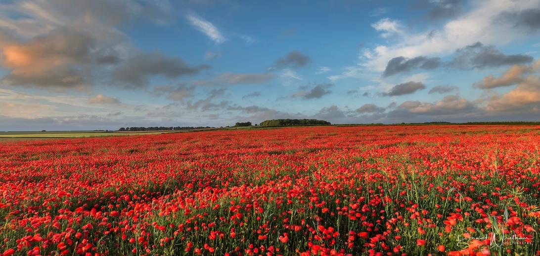 Dorset Poppies