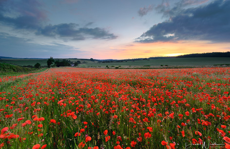 Sunset Over Poppies