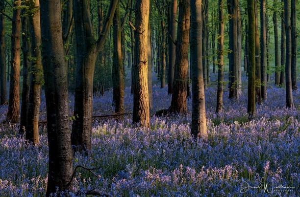 Bluebells & Morning Light
