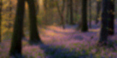 Bluebell forest locations