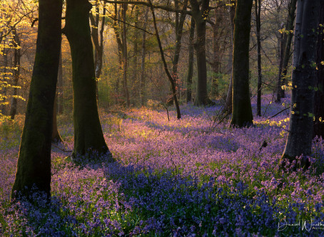 How to Find & Photograph Bluebells