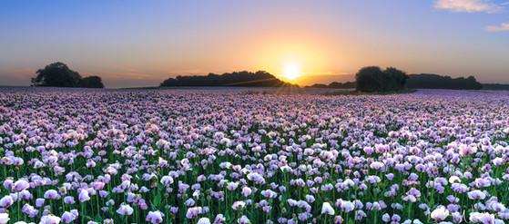 Opium Poppy Sunrise