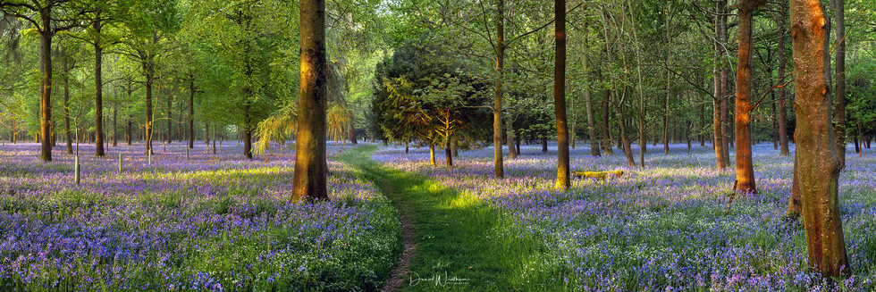 Bluebell Walk Panorama