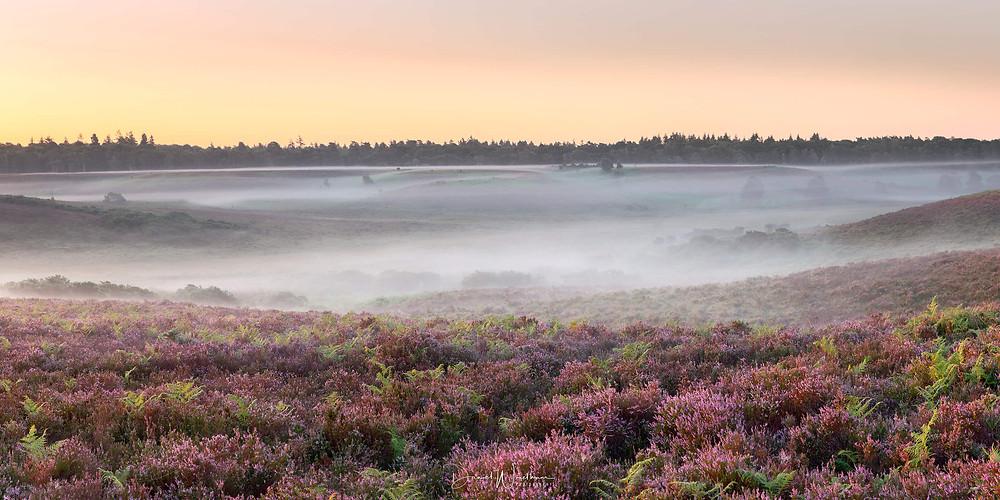 New Forest Mist Heather