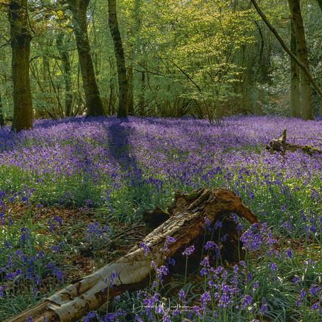 Berkshire Bluebells