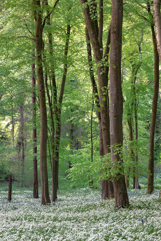 wild garlic woods