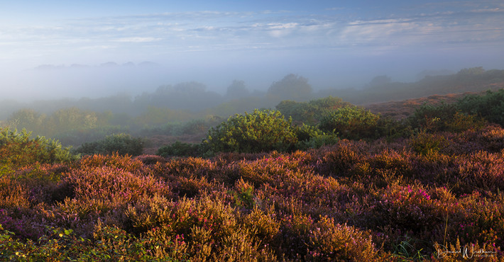 Dorset Mist Over Heather