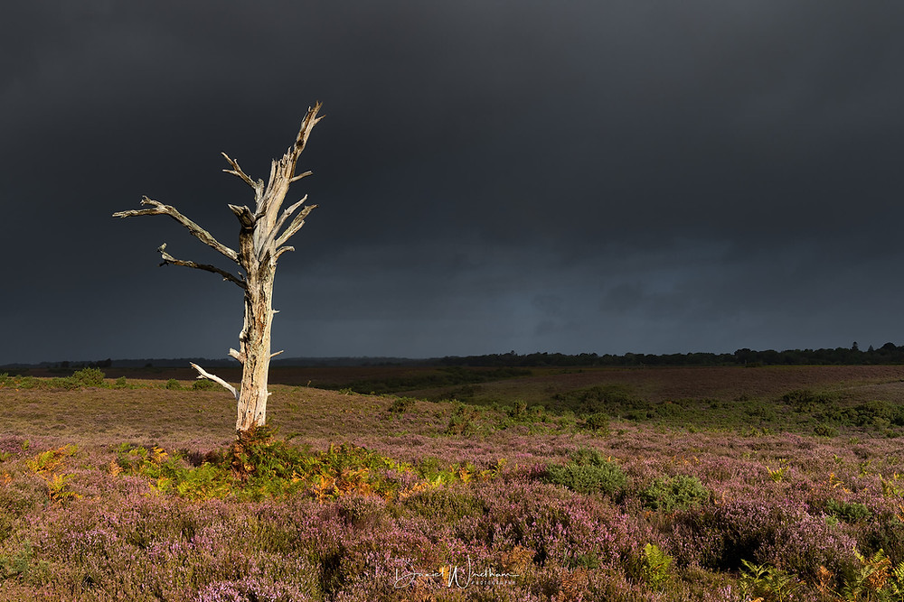 Lone Tree New Forest