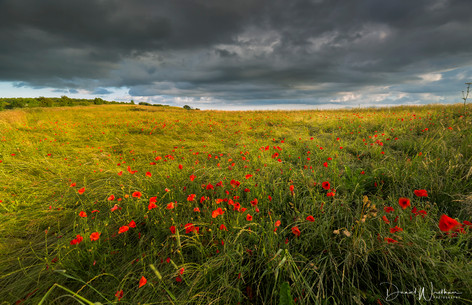 Storms Over Poppies