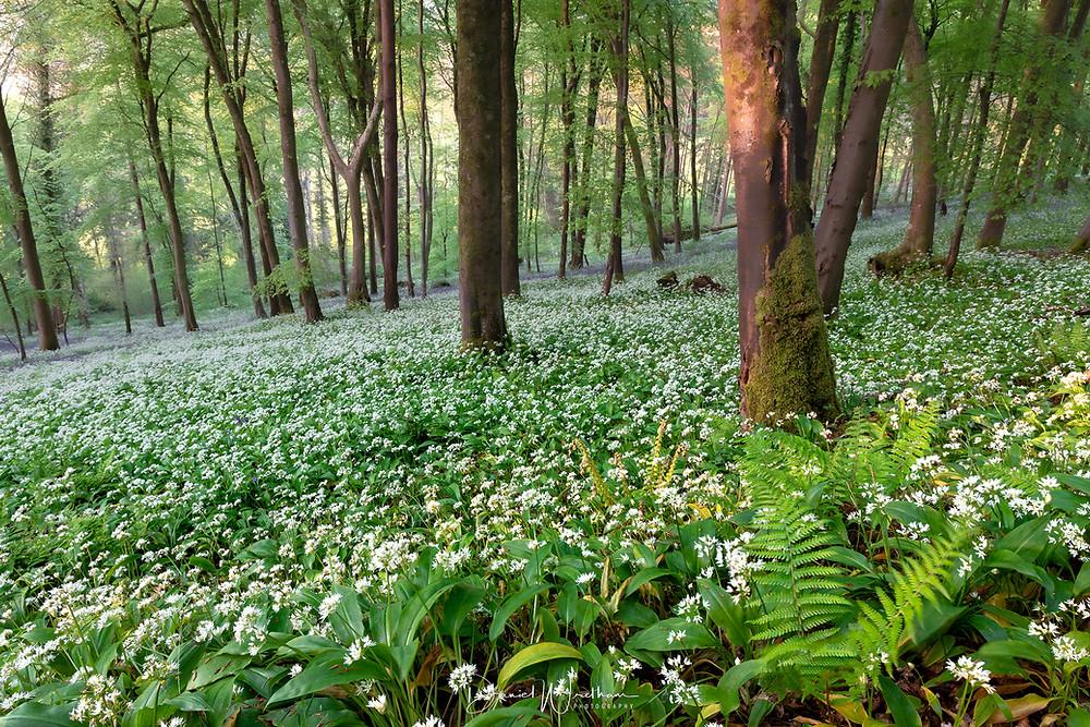 wild garlic Dorset