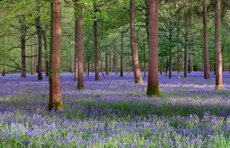 Oak & Blue