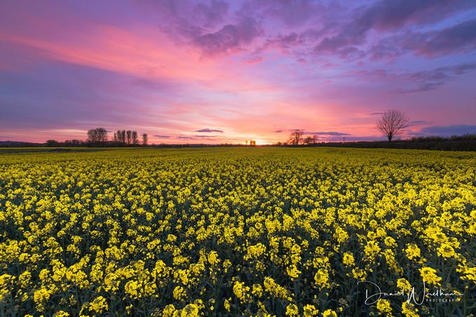 Sunset Over Rape Seed