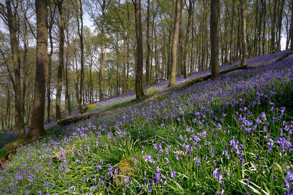 Basking Bluebells