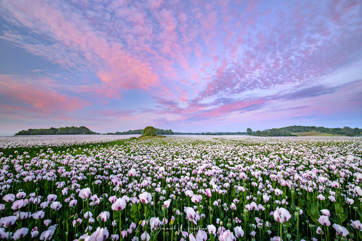 Pink Over Poppies