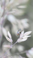Petite mouche sur une graminée