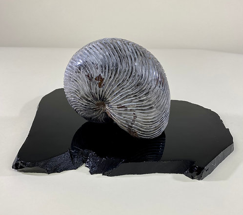 Black Nautilus on Black Obsidian Base