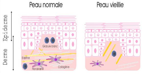 peau normale et vieillie