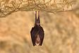Greater-Horseshoe-bat.webp