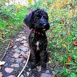 ‼️ NEW PACK MEMBER ALERT ‼️_°_Everybody meet Freya the Schnoodle (Schnauzer X Poodle) pupp