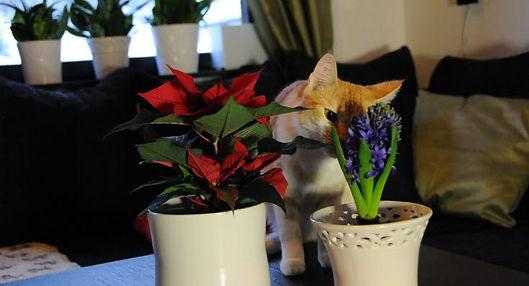 katt-julstjarna-hyacint.jpg