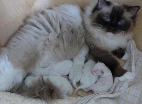 Velkommen til Q-kullet! Fem flotte kattunger ble født den 15.mars 2019!