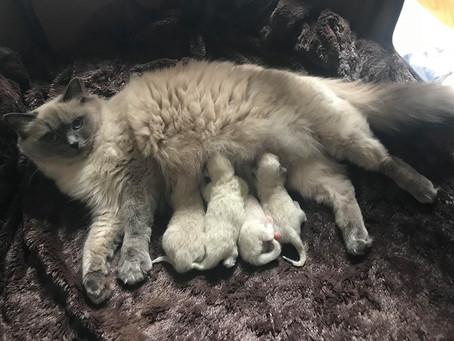NO*Elins Diamanter Honeybell og Amasing Star's Soi-San of Milo fikk et kull på 4 kattunger 29.juli!!