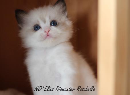 (N)Amasing Star's Yasmin Diamant of Milo sine 4 kattunger !!
