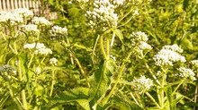 Boneset, an excellent herb for treatment and prevention of influenza
