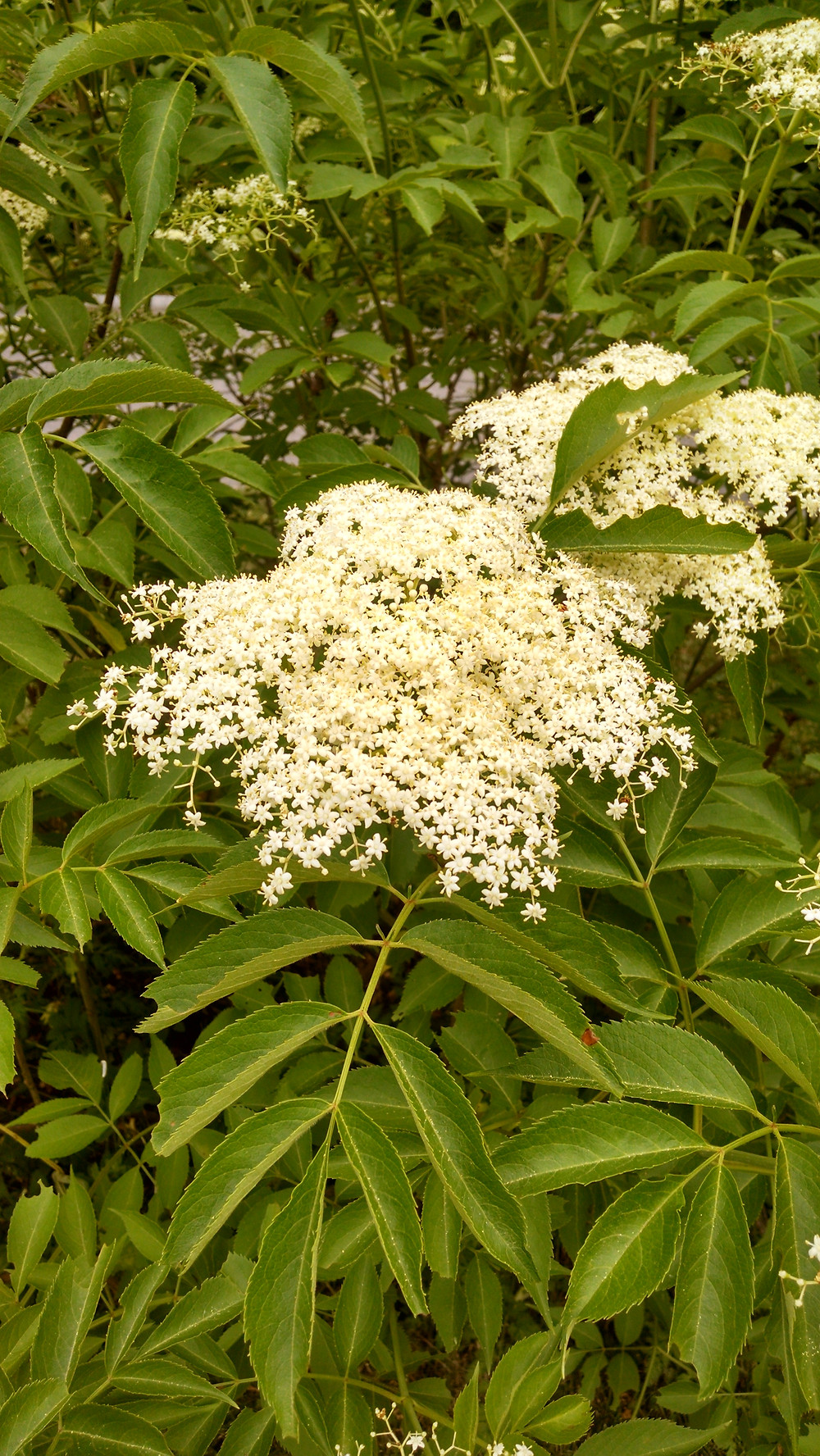 elder bush in full bloom with creamy white flowers