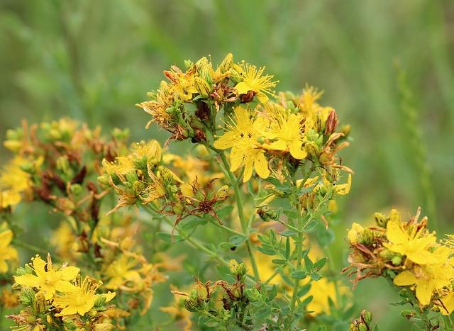 yellow, flowering St. John's wort