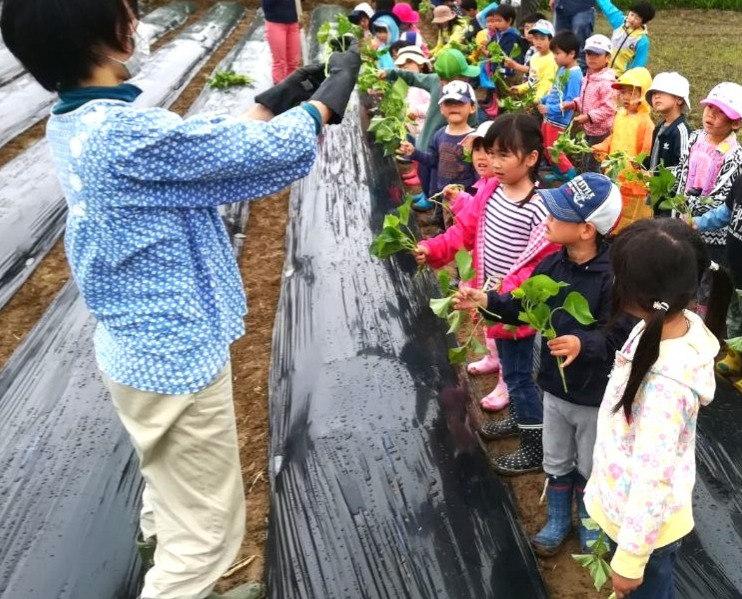 お芋の苗植え