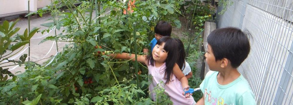 畑の野菜の収穫