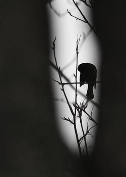 Blackbird's Pose