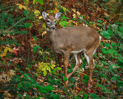 Deer Foliage