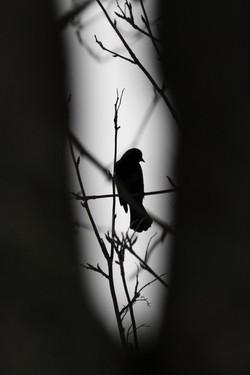Blackbird Silhouette
