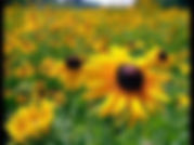 shallow sunflowers.jpg