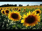 lg depth sunflower.jpg