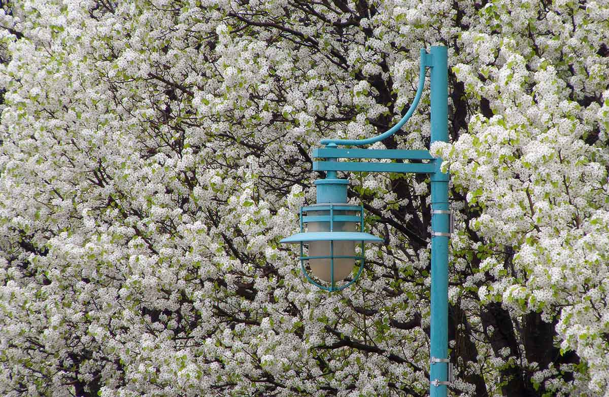 Lamp Post Blossoms
