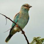 roller-bird-150x150.jpg