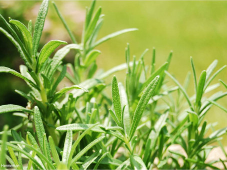 Rosemary - Living Healthy Moment